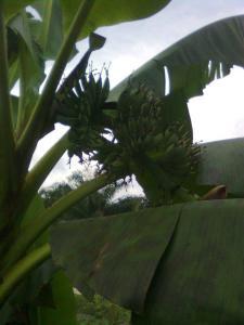 http://tipspetani.blogspot.com/2014/12/menanam-pohon-pisang-mas.html